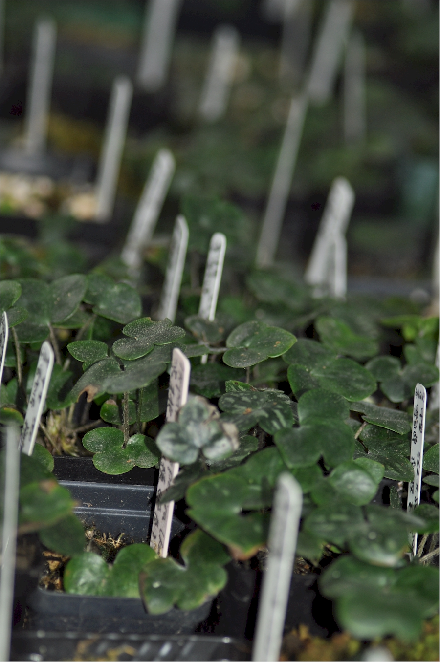 Hepatica seedlings
