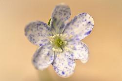 Hepatica nobilis ex 'Bavarian Blue'