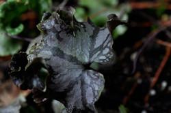 H. nobilis winter leaf