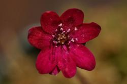 Dark red hepatica