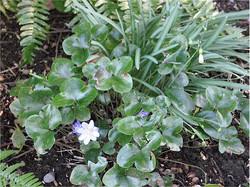 Hepatica in the Garden