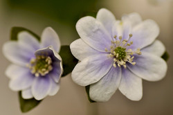 Hepatica nobilis var acuta