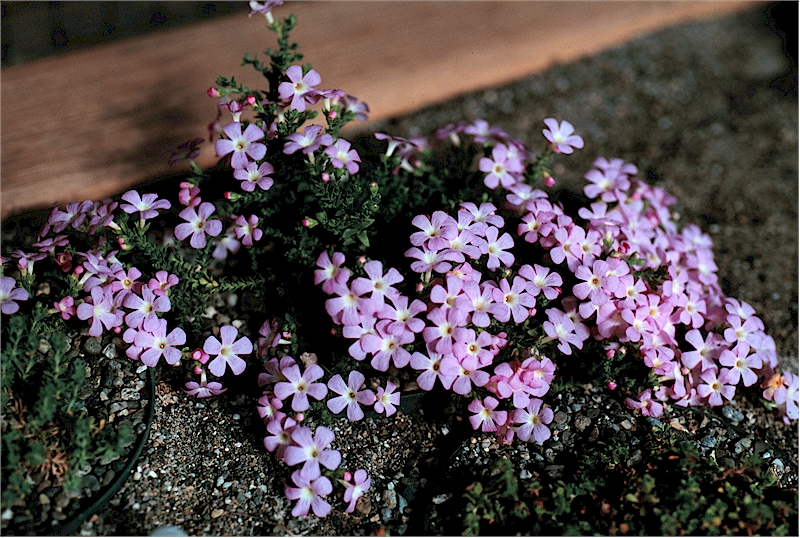 Ourisia microphylla