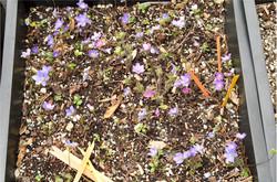 Hepatica seedling box
