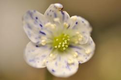 Hepatica nobilis ex'Prickel'