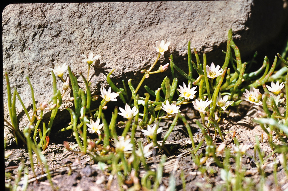 Lewisia tryphylla by Carl English