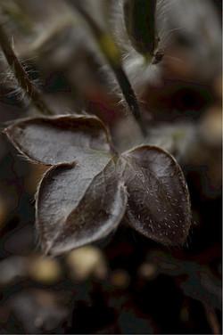 Hepatica acutiloba dark leaves