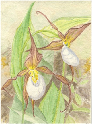 Mountain Lady's Slipper/Cypripedium montanum watercolor by chapter member, Donna Perkins Wylie © 2012-2016. All rights reserved.