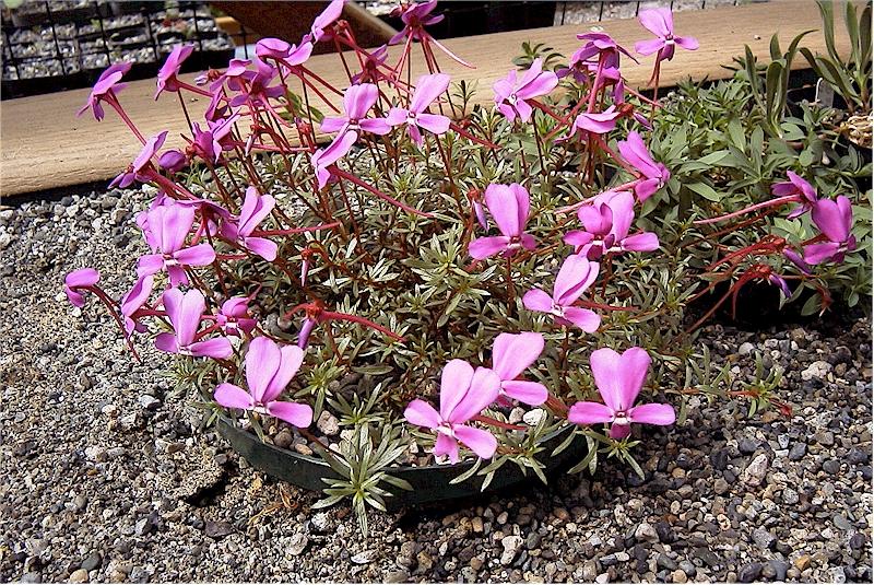 Viola cazorlensis
