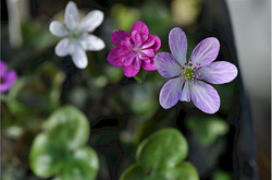 Hepatica japonica seedlings
