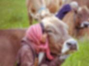 Gita Nagari cows.jpg
