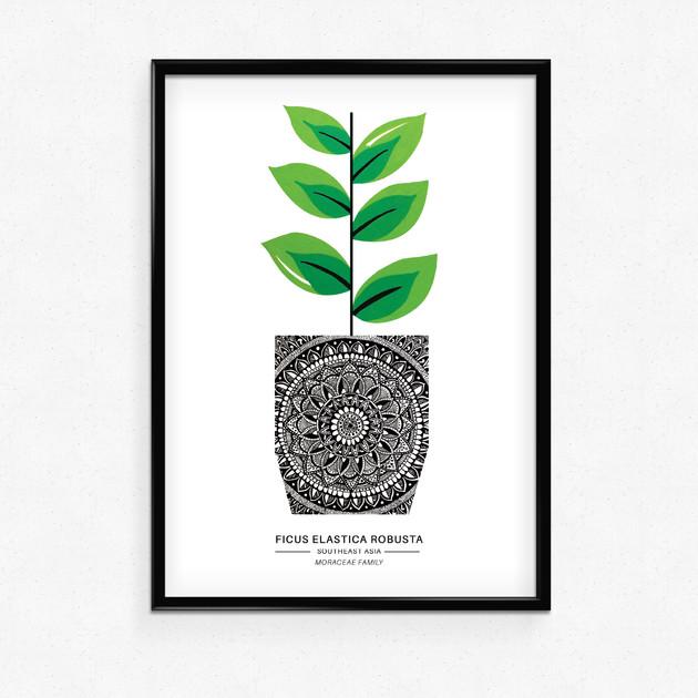 Ficus - A5