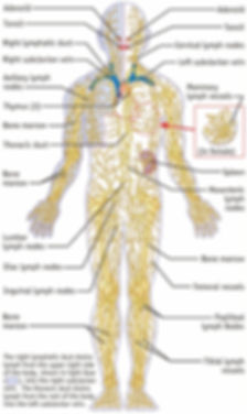 lymphatic-system.jpg