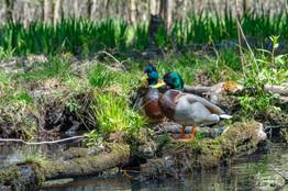 Entenpaar im Spreewald