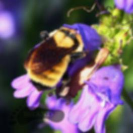 PictureGalleryBumbleBee500.jpg