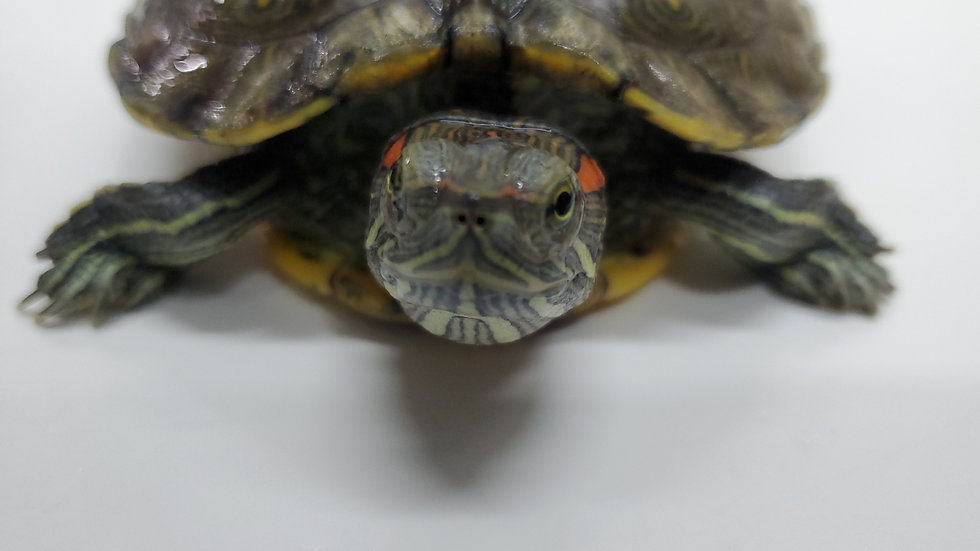 紅耳龜 姑丈