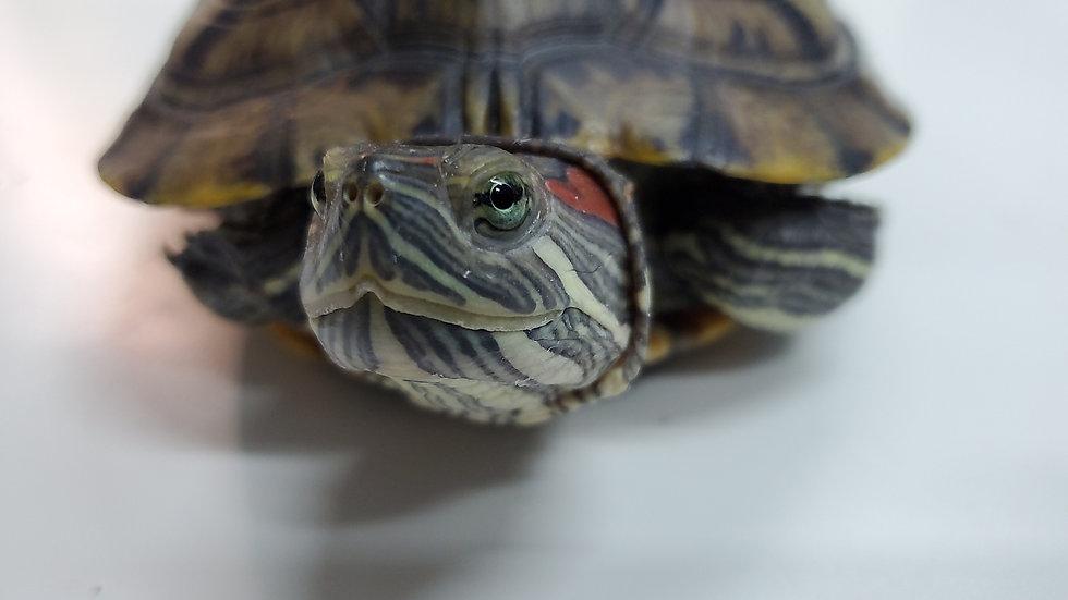 紅耳龜 Amphibo