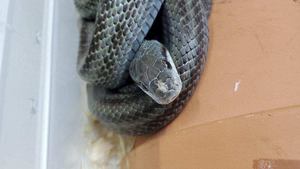 日本鼠蛇 蛇姬