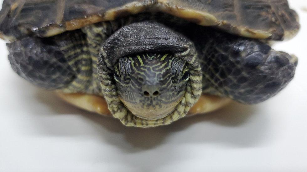 斑龜 姑媽
