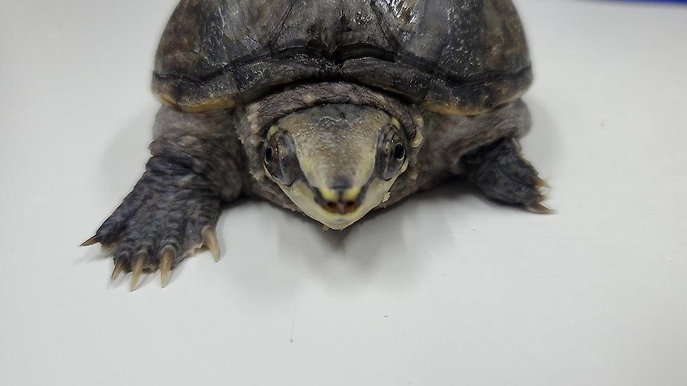 麝香龜 Gigi