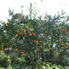 Apple tree in backyard.jpg
