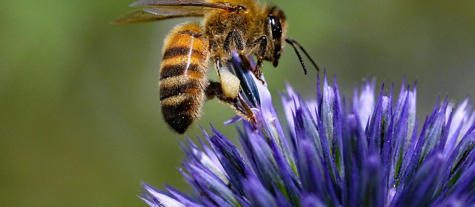 Honeybee Venom Kills Aggressive Breast Cancer Cells, Study Shows