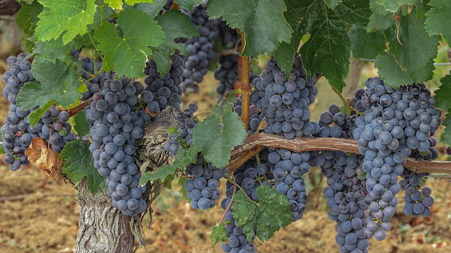 Black grapes hanging on a vine.jpg