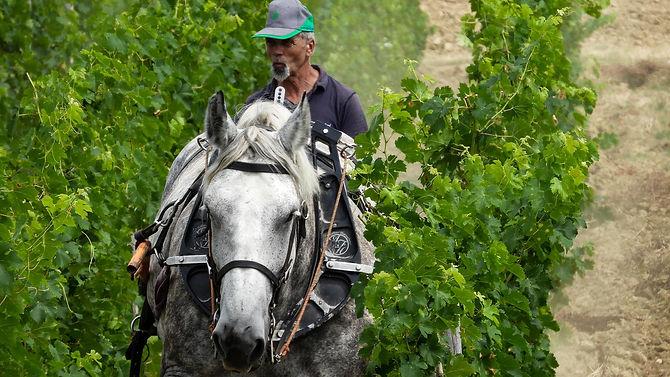 Ploughing the vineyard.jpg