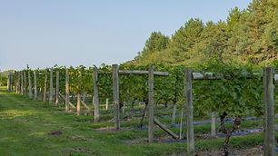 Rows of Seyval Blanc vines in a vineyard