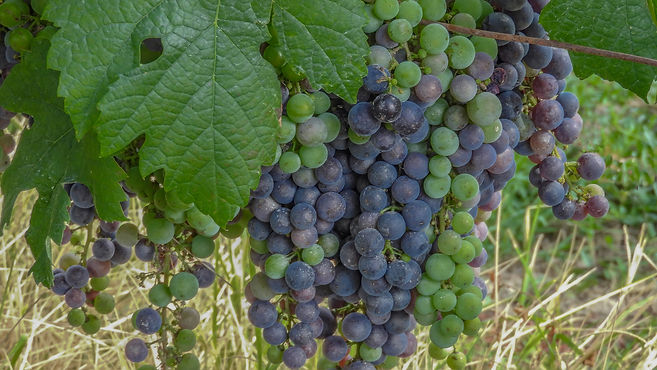 Large buches of black grapes changing co