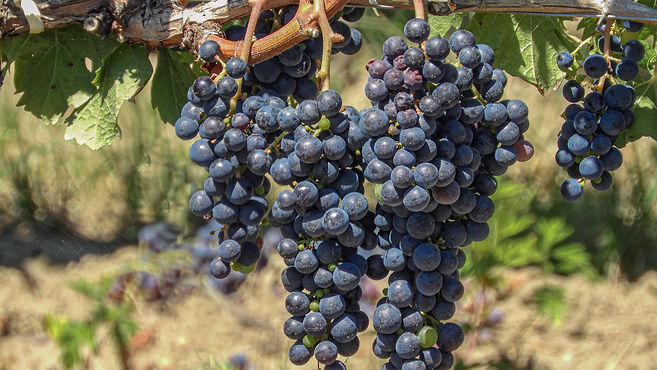 bunches black grapes on the vine.jpg