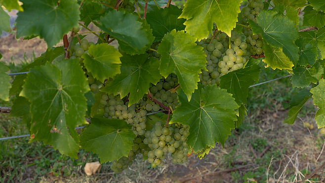 Bunches of Seyval blanc grapes in a vine
