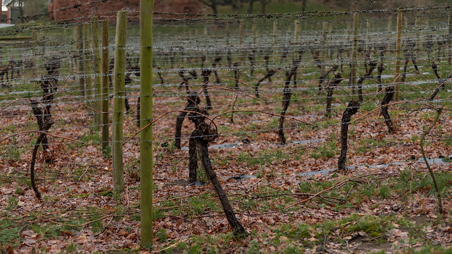 Double Guyot spur pruned vines in Winter