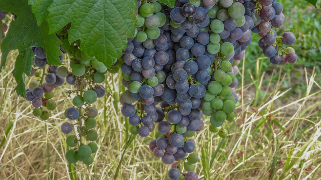 Close up of Large buches of black grapes