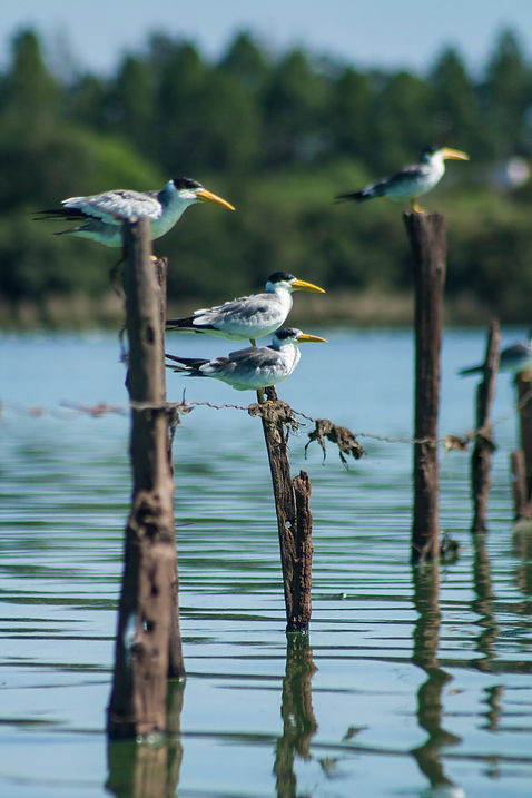 gaviotin chico comun, Sternula superciliaris, rio uruguay, entre rios, argentina