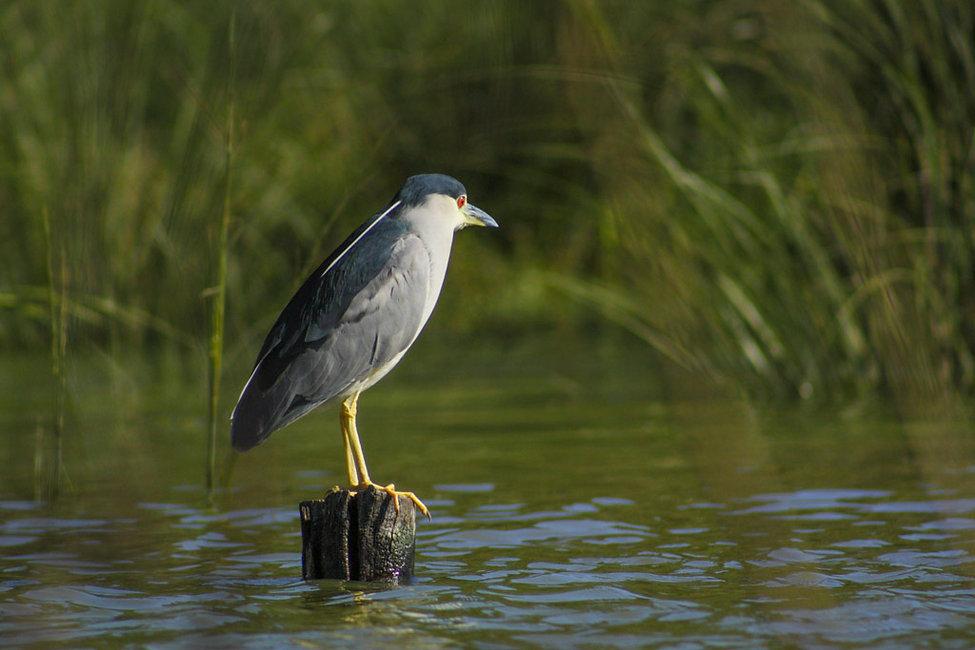 Nycticorax nycticorax entre rios, garza bruja, rio uruguay, ave argentina