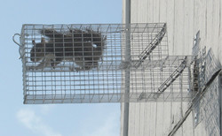 safe & humane squirrel removal