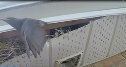 BIRD FLYING OUT OF SOFFIT