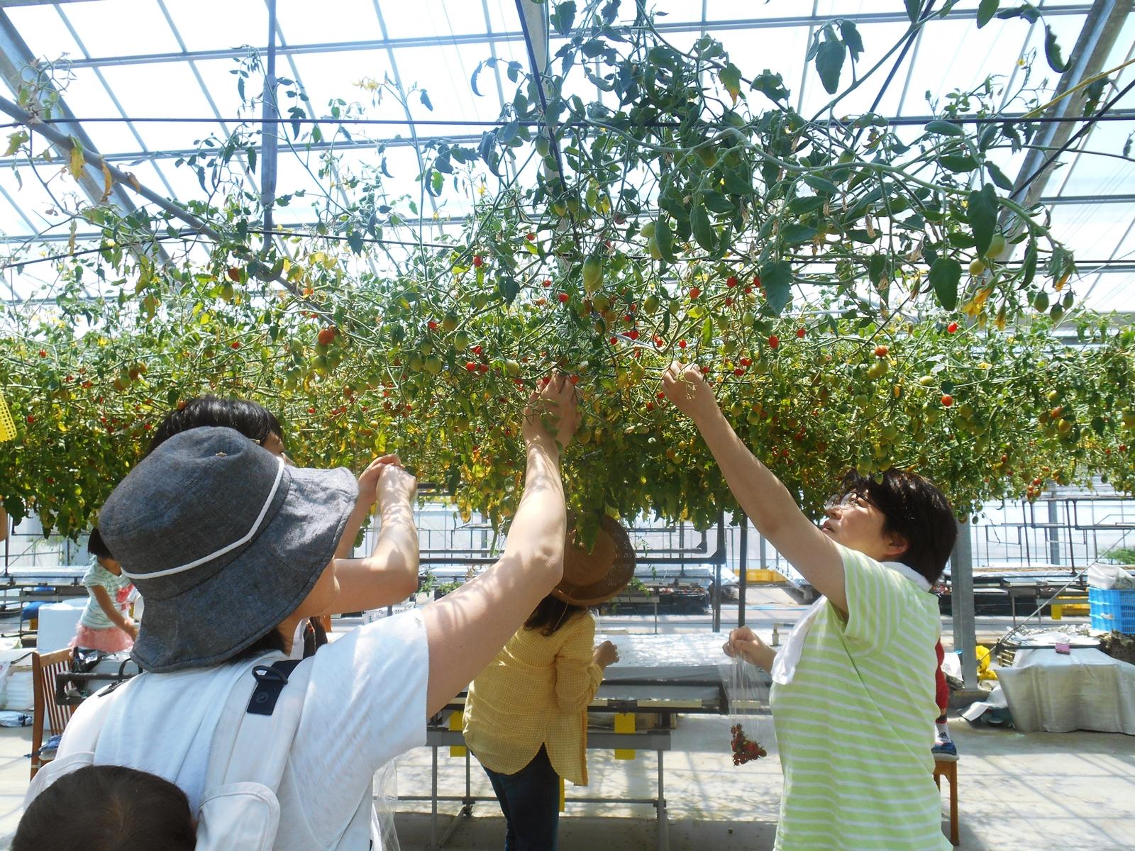 トマト収穫体験ツアー