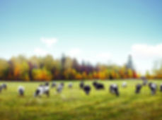 Pasture fed cows