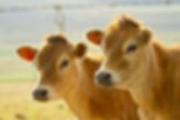 Healthy dairy cows