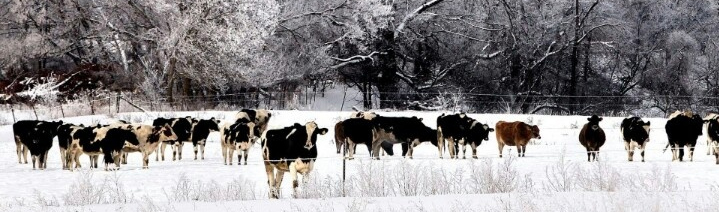 Cowsinthewinter_edited.jpg