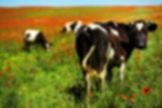 PortaCheck Cow