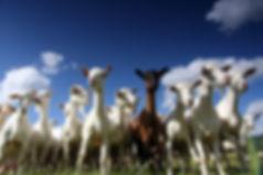 PortaSCC Goat Milk Test