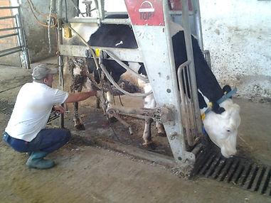 Testing cow in Bulgaria