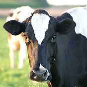 Dairy cow testing