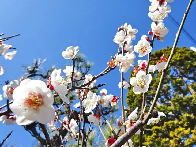 円光院の桜