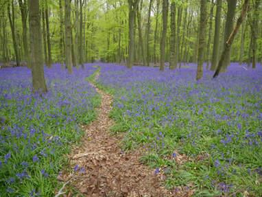 Dockey Wood Bluebells