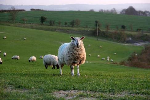 Sheep at Town Farm
