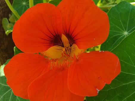 Flower for November - Nasturtium